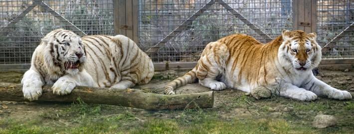 tigre-sendaviva